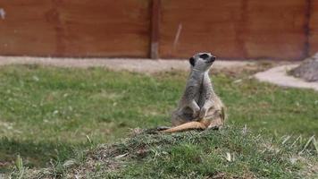 meerkat care