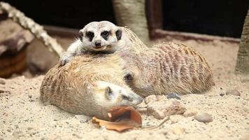 família meerkat video
