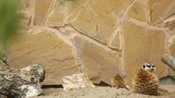 família do suricato brincando ao ar livre video