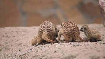 Meerkats playing outdoor