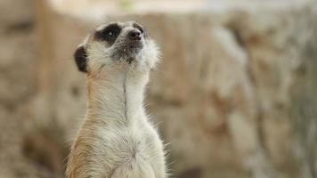 Close-up on Meerkat. video