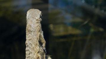 Erdmännchen, Suricat Suricatta - auf der Hut.
