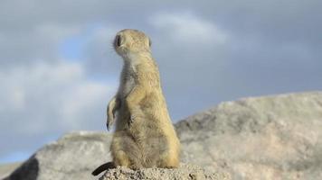 suricate ou suricata em pé em posição de alerta