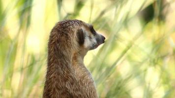 Suricate or meerkat head close up