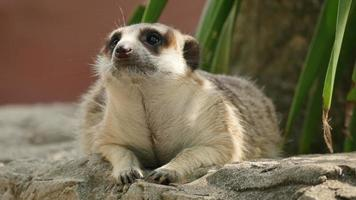 primo piano su meerkat. video