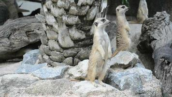 famiglia meerkat (suricate) video