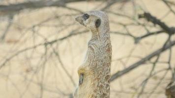 suricato olhando para fora video