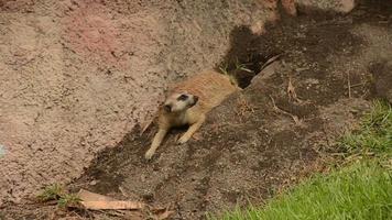 Meerkat (Suricata suricatta) in the wild video