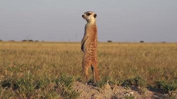 meerkat di sentinella mentre altri suricati foraggiano cibo, botswana video