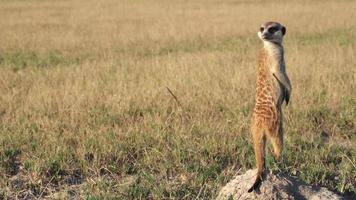 Meerkat on sentry duty while other meerkats forage for food,Botswana