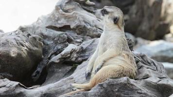 meerkat rilassarsi a guardia di un bosco