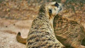 Meekat procurando alerta em um zoológico khao kaew aberto. cnglnat1094 video