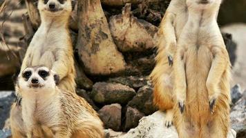 Meekat procurando alerta em um zoológico khao kaew aberto. cnglnat1094