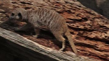suricate marche sur des rochers