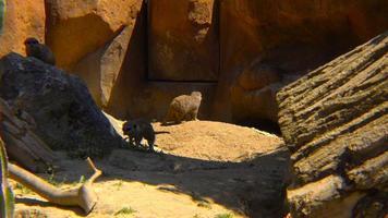 suricati che corrono tra le rocce