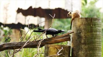 meerkat and the crow