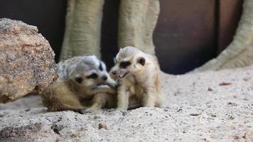 due meerkat sulla sabbia