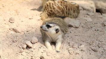 meerkat op het zand video
