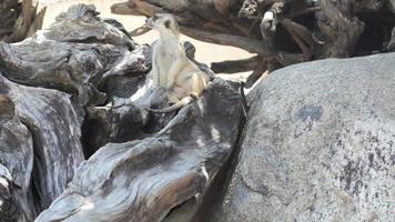 Erdmännchen entspannen Wache auf einem Holz hd