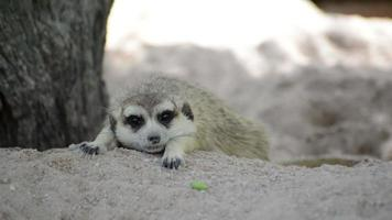 Meerkat (Suricate), the small animals of africa video