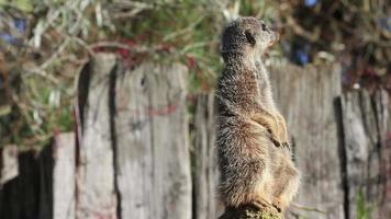 Close up of meerkat