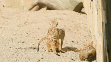 cámara lenta: las suricatas tienen sexo video