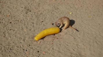 Suricatas cavando en la arena