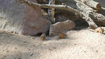 meerkats digging in the sand video