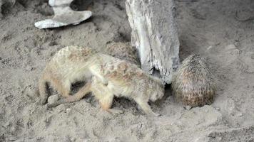 Meerkat (Suricate), the small animals of africa