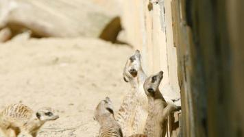 rallentatore: stormo di suricati guarda in alto