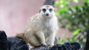 família suricate (suricate), os pequenos animais da África video