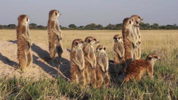 família meerkat tomando sol, botsuana