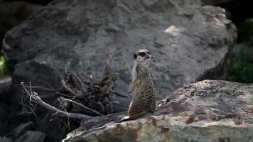 guardando il piccolo suricato selvatico video