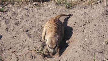 Suricata buscando comida, Botsuana