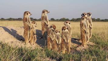 famiglia meerkat che prende il sole, botswana video
