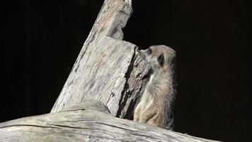 Meerkat (Suricata suricatta) on alert.