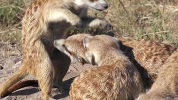 suricati che si puliscono a vicenda, Botswana video