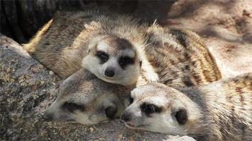 Grupo de meerkat (suricata suricatta) durmiendo en la madera, vista cercana en hd