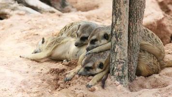 famiglia di meerkat dormire sul pavimento