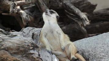 alerte o suricata sentado e relaxe na árvore como guarda