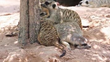 familia de suricata sentada en el suelo