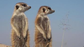 gruppo di suricati in piedi vigili e alla ricerca di predatori video