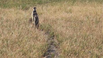 Grupo de suricatas buscando comida en la hierba, Botswana