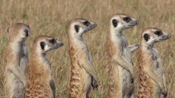 grupo de suricatos em pé alerta e procurando predadores