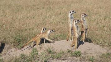 suricati in servizio di sentinella mentre altri liberano l'ingresso alla tana, in Botswana video