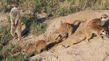 Meerkats on sentry duty while others clear entrance to burrow, Botswana