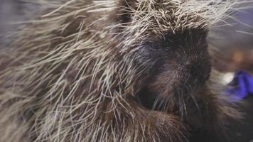 animal porco-espinho comendo close-up