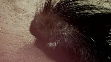 porco-espinho na areia video
