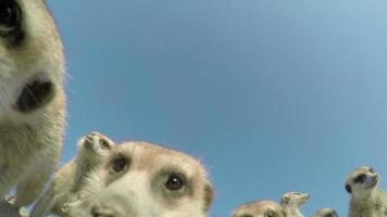 Inquadratura dal basso di suricati curiosi che indagano sulla fotocamera, Botswana video