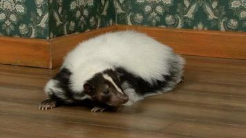 gambá deitado no apartamento